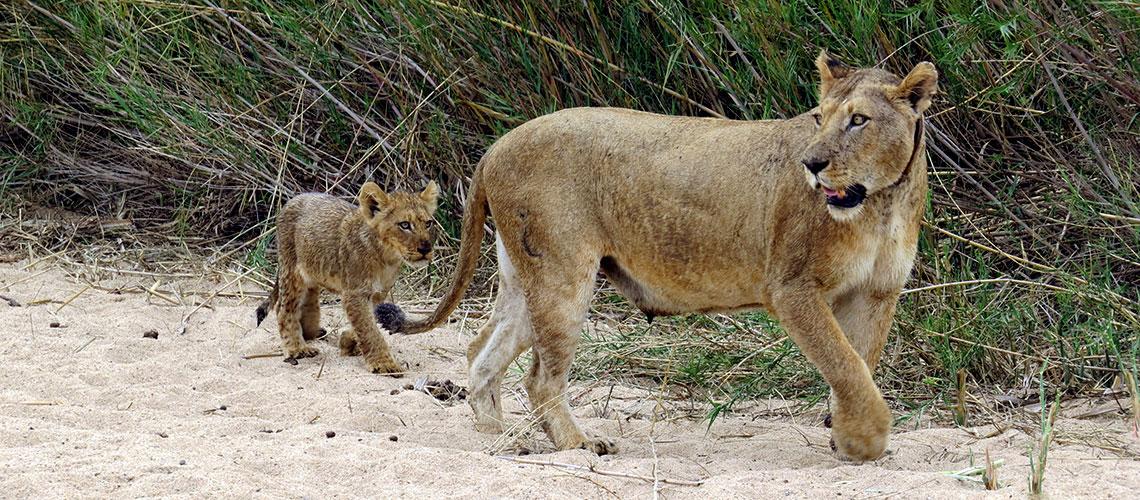 Lioness & Cub